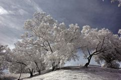 Infrared photo- tree, skies Stock Image