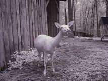 Infrared photography - ir photo of goat with trees royalty free stock photos