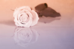 Infrared Rose - Reflection Royalty Free Stock Photos
