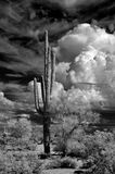 Infrared Saguaro Cactus Sonora Desert Arizona royalty free stock photography