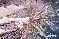 Infrared Snow Covered Maple Tree Stock Photo