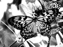 Infrared strzelający motyl Zdjęcia Stock