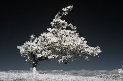 Infrared tree. A strange shaped tree in Infrared color Stock Photos