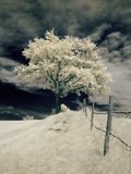 Infrared tree. Photo was made with an infrared filter Stock Photo