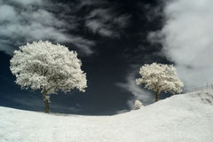 Infrared tree. Photo was made with an infrared-filter Royalty Free Stock Image