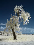 Infrared tree Royalty Free Stock Image