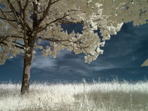 Infrared tree Royalty Free Stock Photo