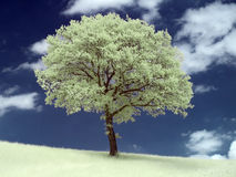 Infrared tree. Photo was made with an infrared filter Royalty Free Stock Photo