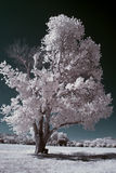 Infrared tree. Single infrared tree in the middle of a field Stock Photos