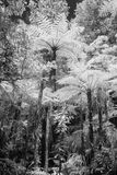 Infrared tree ferns Royalty Free Stock Photo