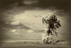 Infrared tree landscape. Beautiful tree photographed with an infrared filter on camera at the sunset Stock Photography