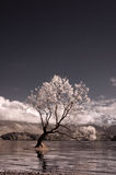 Infrared Wanaka Tree Stock Photography