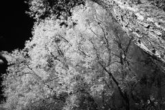 Infrared Willow Royalty Free Stock Photography