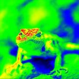 Infrarode Woestijn Doornige Hagedis Stock Fotografie