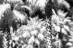 Infrarotfoto von Palmen Stockbild