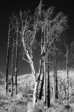 Infrarouge 2 de forêt photo libre de droits
