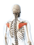 The infraspinatus muscle Stock Images