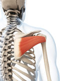 The infraspinatus muscle Royalty Free Stock Photo