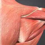 Infraspinatus, Trapezius et muscle deltoïde illustration stock