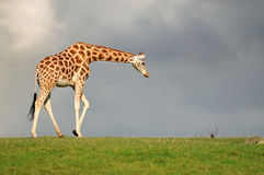 Infront de giraffe d'un ciel foncé Images stock