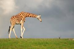 Infront della giraffa di un cielo scuro Immagini Stock