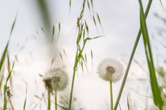 Infructescences of Dandelion flowers on weeds background Stock Images