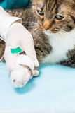 Infusion at a cat Royalty Free Stock Photo