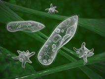 Infusoria paramecium protozoa Stock Images