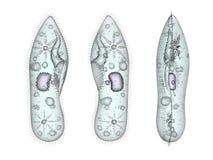 Infusoria paramecium protozoa set Stock Image