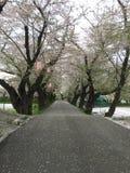 Ingång av Sakura för körsbärsröd blomning den långa korridoren arkivfoto