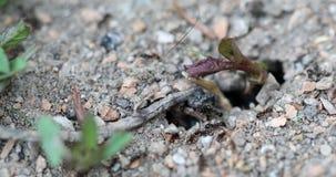 Ingång till en myrstack arkivfilmer