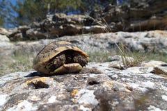Ing черепахи младенца пряча в своей раковине Стоковая Фотография