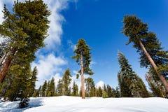 Inga fotsteg fördärvar sängen av snö som täcker slingan in i redwoodträdskogen Arkivfoton