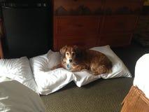 Inga husdjur på sängen Fotografering för Bildbyråer