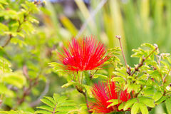 Inga pulcherrima. The fine, feathery and large flowers are a deep scarlet color and borne among the green foliage from spring to autumn, Pico, Azores Stock Photography