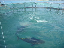 Ingabbi l'agricoltura del tonno albacora nella baia della camma Ranh nel Vietnam Fotografia Stock