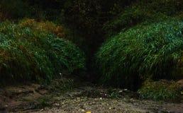 Ingang aan donker geheimzinnig bos met lang gras van beide kanten stock foto