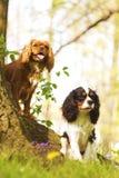 Inganni con il cucciolo sprezzante dello spaniel di re charles di divertimento due Fotografie Stock