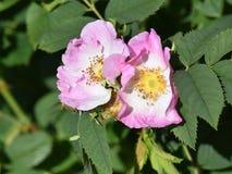 Ingarden den rosa blomningen för rosa hund Royaltyfri Foto
