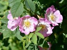 Ingarden den rosa blomningen för rosa hund Arkivfoto