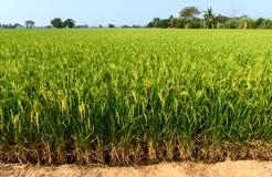 Ingediende rijst Royalty-vrije Stock Fotografie