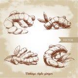 Ingefäran rotar uppsättningen Ört- och kryddavektorillustration vektor illustrationer