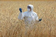 Ingegnere agricolo sul campo che esamina le orecchie mature di grano Fotografie Stock