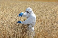 Ingegnere di biotecnologia sul campo che esamina le orecchie mature di grano Fotografie Stock
