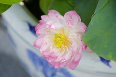 Ingemaakt Lotus Stock Afbeelding