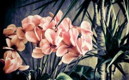 Ingemaakte bloemen: cyclaam en dracaena Royalty-vrije Stock Foto's