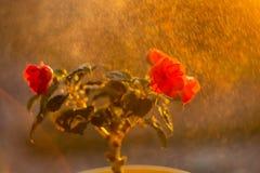 Ingemaakte bloemen op de vensterbank stock fotografie