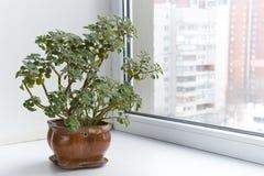 Ingemaakte bloemen op de vensterbank in een pot. Aichryson. Royalty-vrije Stock Afbeeldingen