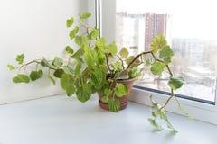 Ingemaakte bloemen op de vensterbank in een pot. Begonia Semperflorens Royalty-vrije Stock Fotografie