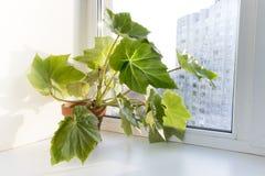 Ingemaakte bloemen op de vensterbank in een pot. Begoniaheracleifolia Royalty-vrije Stock Fotografie
